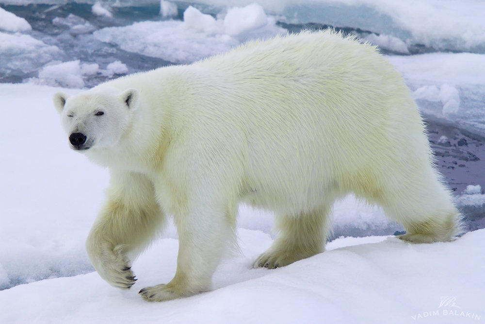 смотреть картинки белого медведя бритье опасно